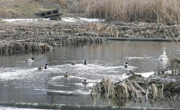 На Черкащині розмірковують, як врятувати лебедів від сильних морозів