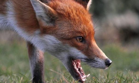 В одному з районів Черкащини оголосили карантин через сказ лисиці