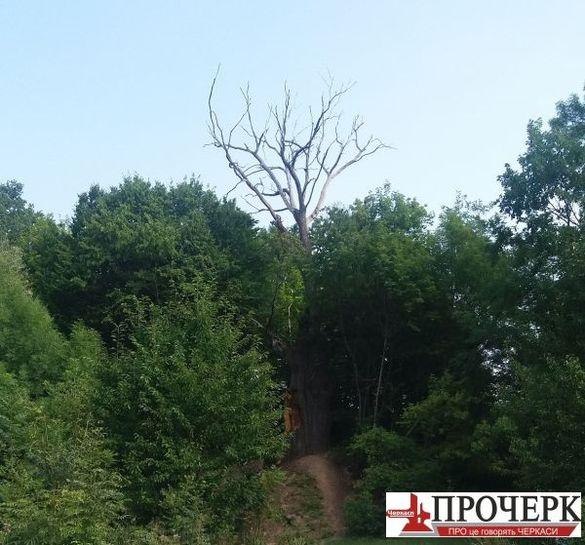 На Черкащині практично помер тисячолітній дуб