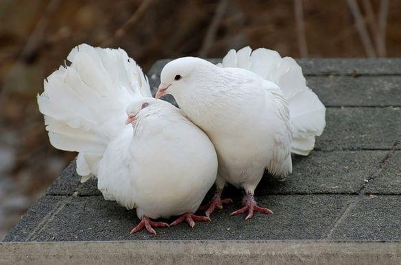 На Черкащині пройде виставка декоративних птахів