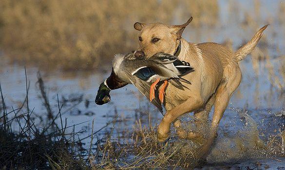 Відсьогодні на Черкащині дозволено полювання на пернату дичину