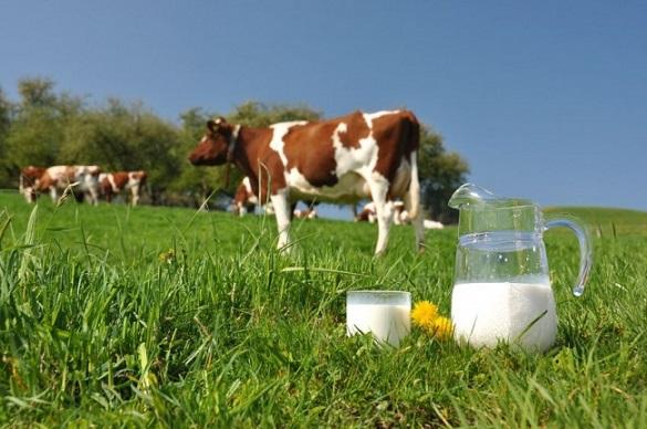 На Черкащині корова дала рекордну кількість молока