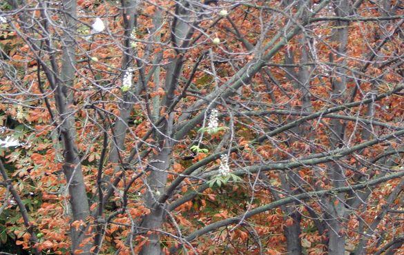 Весняна знахідка здивувала містян: у Черкасах зацвіли каштани (фотофакт)