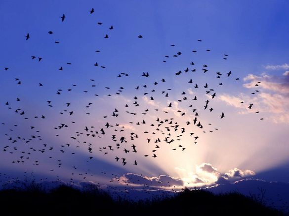 Над черкаським мостом зафіксували масовий переліт птахів (ВІДЕО)
