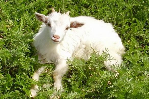 Втратили бізнес, але не зневірилися: як черкаська родина заснувала козину міні-ферму (ВІДЕО)