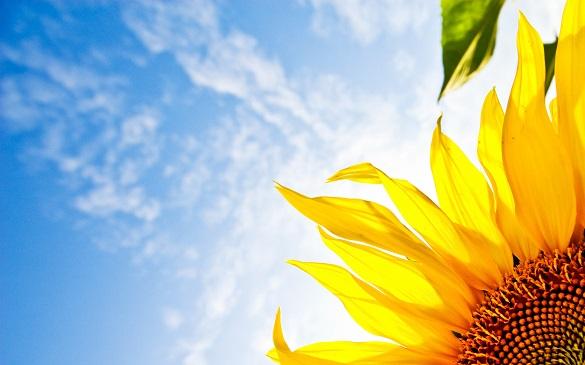 На Черкащині через врожай соняшнику розгорівся конфлікт (ВІДЕО)