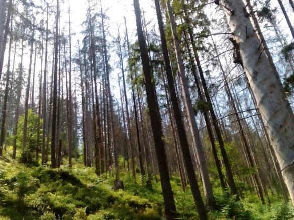 У Черкаській області боротимуться із масштабним всиханням лісів