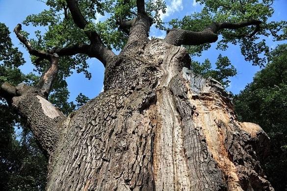 Тисячолітній дуб Залізняка помирає: дерево тяжко хворе