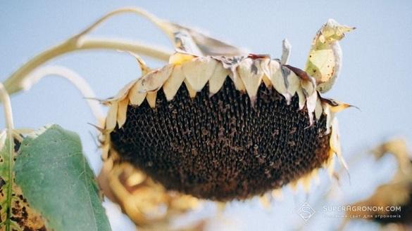 Черкаські агрономи скаржаться на низький врожай соняшнику та сої
