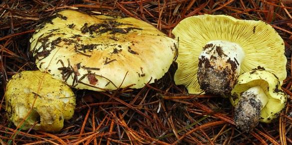 У Черкаській області від отруєння грибами померла дитина