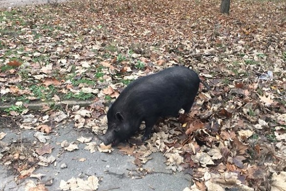 У черкаському мікрорайоні вулицею розгулювала свиня (ФОТО)