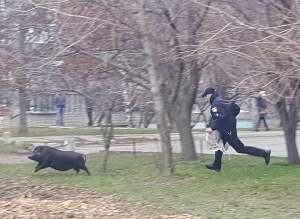 У мережі розмістили відео про те, як патрульні у Черкасах свиню ловили