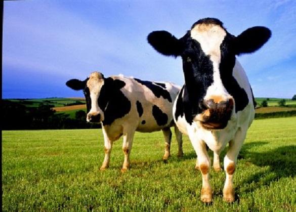 На Черкащині у корів виявили сказ