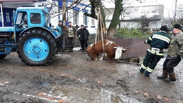 Порятунок корови: як рятувальники тварину з ями витягали (ФОТО, ВІДЕО)