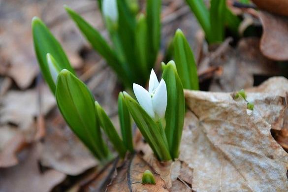 Аномальна зима: на Черкащині серед січня розквітли підсніжники (ФОТО)