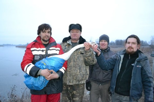 На Черкащині врятували від холоду хворого лебедя (ФОТО)