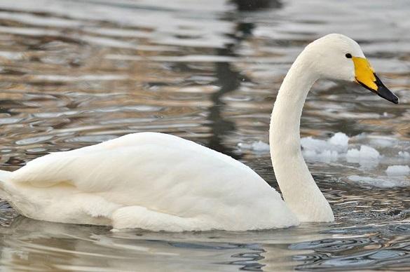 Не відлетіли до теплих країв: біля черкаської дамби плаває зграя лебедів