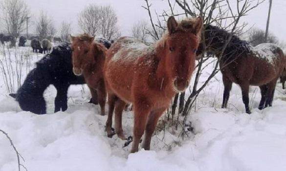 Зоозахисників обурила поведінка жителя Черкащини зі своїми кіньми