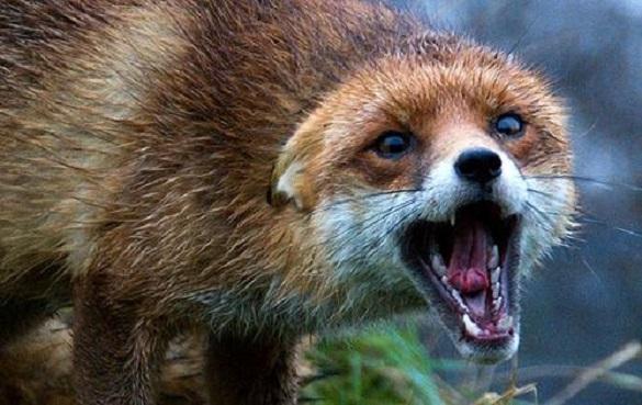 На Черкащині виявили хвору на сказ лисицю