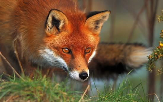 На Черкащині зафіксували випадок сказу лисиці