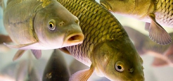 У водоймах Черкащини дефіцит риби