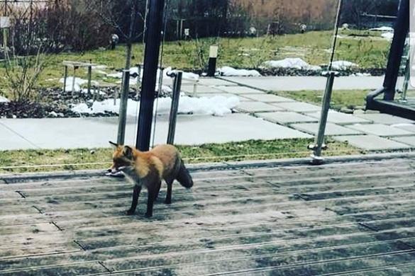 На поріг черкаського ресторану прийшла лисиця (ФОТО)