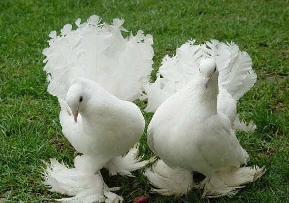 У Черкаській області відбудеться виставка декоративних птахів