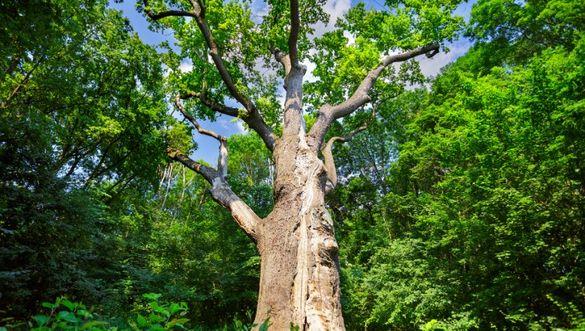 Труїти не можна, але залишати теж: що загрожує тисячолітньому дубові на Черкащині  (ВІДЕО)