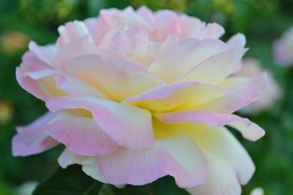 На Черкащині виростили понад 10 тисяч колекційних квітів (ФОТО)