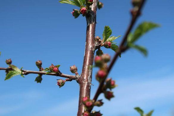 В одному з сіл Черкащини  з'явилася рожева
