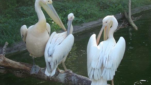У черкаському зоопарку оселилися пелікани, яких знайшли на узбережжі Дніпра (ФОТО, ВІДЕО)