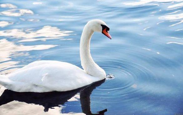 Близько сотні лебедів оселились на водоймі одного з сіл на Черкащині (ФОТО)