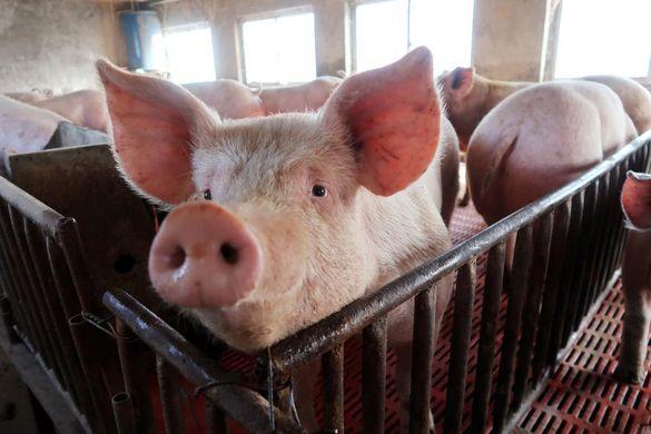 На Черкащині зафіксували спалах африканської чуми свиней