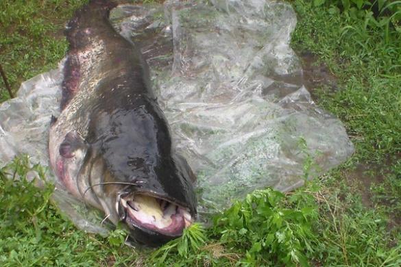 Рибалка спіймав велетенського сома в Дніпрі на Черкащині (ФОТО)