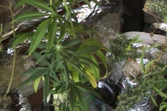 Пара черкасців вирощувала коноплю в своєму помешканні