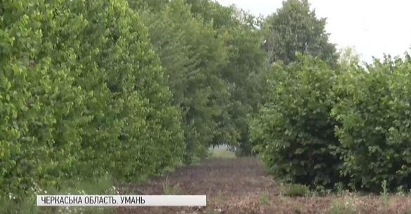 Через тяганину з документами під загрозою опинився унікальний фундуковий сад на Черкащині (ВІДЕО)