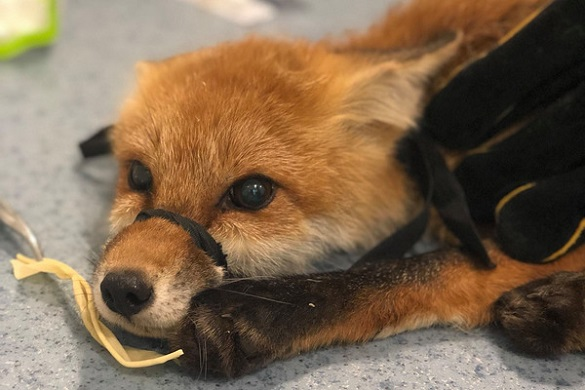 Небайдужі рятують лисеня, яке збили на Черкащині (ФОТО)