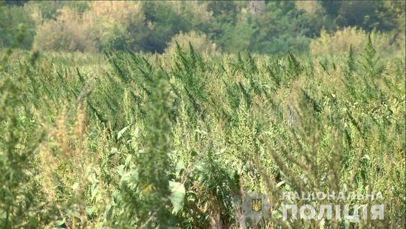 На Черкащині виявили масштабну плантацію конопель (ФОТО, ВІДЕО)