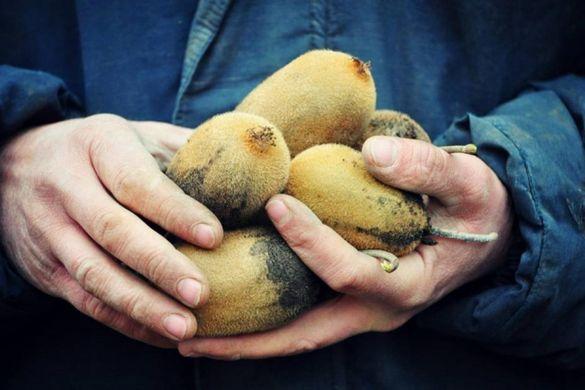 На Черкащині фермер вирощує цілу плантацію екзотичного фрукта (ФОТО)