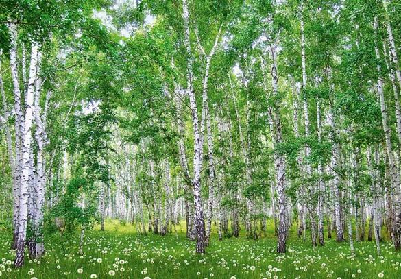 В одному з черкаських парків з'явиться березова галявина