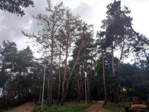 У черкаських парках масово всихають сосни (ФОТО)