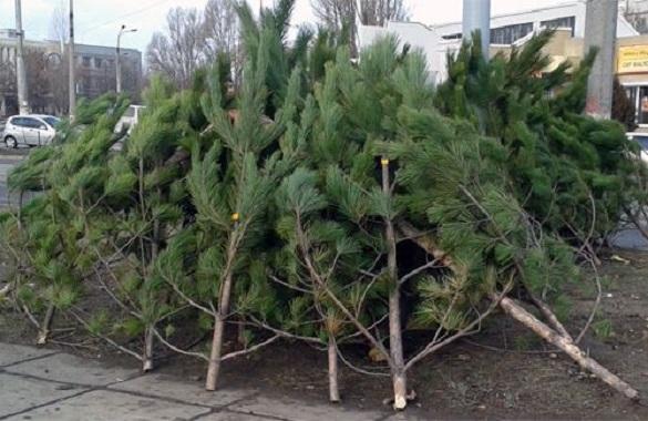 У Черкасах уже визначили, де торгуватимуть новорічними ялинками
