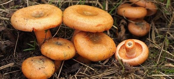 У Черкаській області реєструють нові випадки отруєння грибами