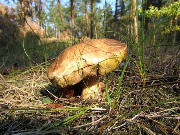 У Черкаській області померла дитина від отруєння грибами