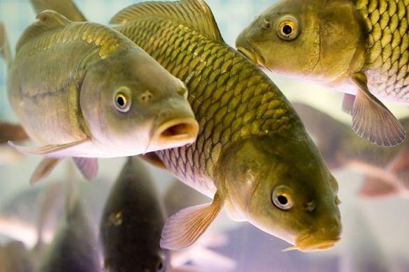 Кременчуцьке водосховище на Черкащині наповнять понад 70 тоннами риби
