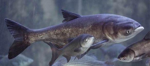 У Черкасах випустили в Дніпро понад 10 тонн риби