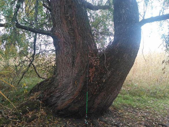 У Черкаській області росте верба-гігант (ФОТО)