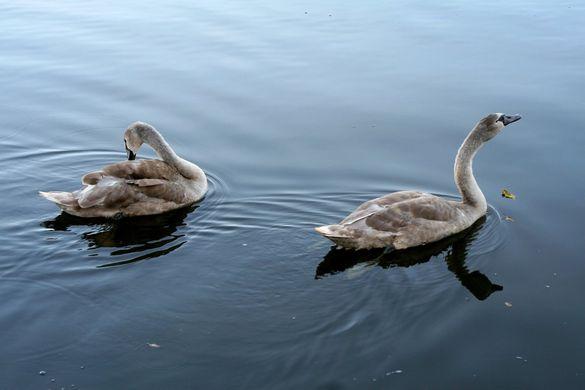 Родина з Черкащини вберегла та доглянула пару лебедів (ВІДЕО)