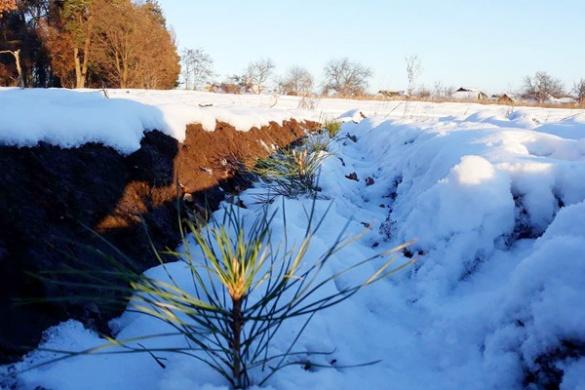 Черкаські лісівники висадили плантацію майбутніх новорічних ялинок (ФОТО)