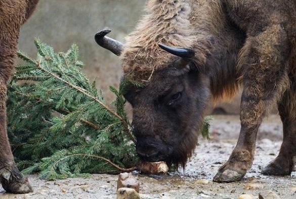 Черкасцям пропонують не викидати новорічні ялинки, а віддати їх до зоопарку